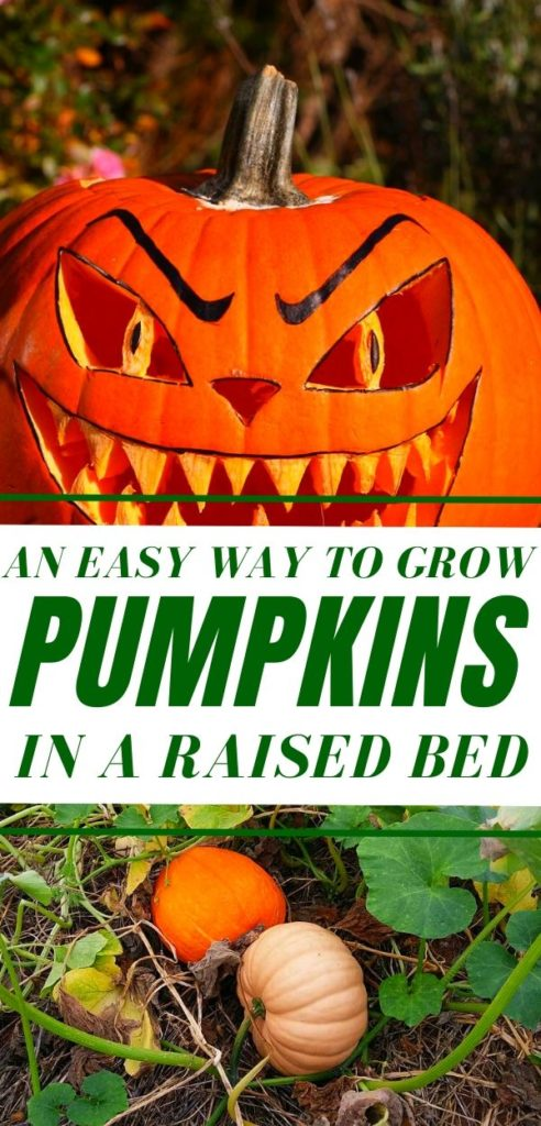 An Easy Way To Grow Pumpkins In A Raised Bed