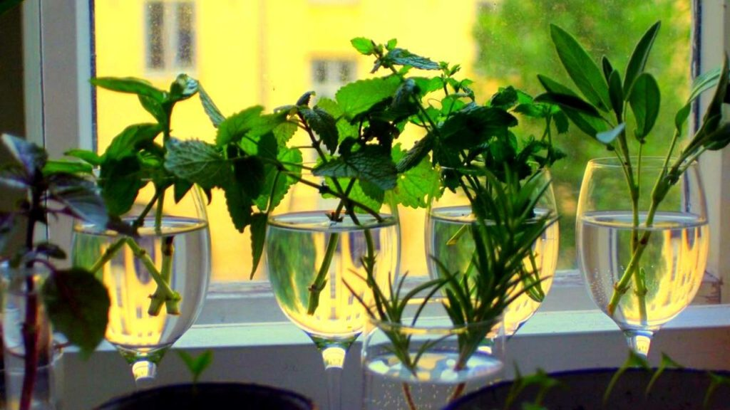cuttings of herbs