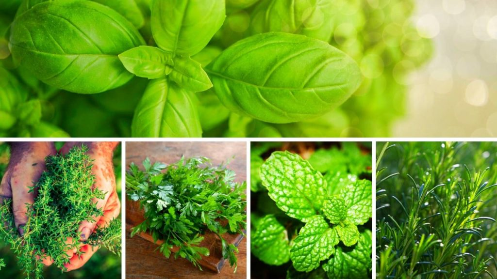 Here are a few herbs you can grow in a grow tent for your indoor herb garden.