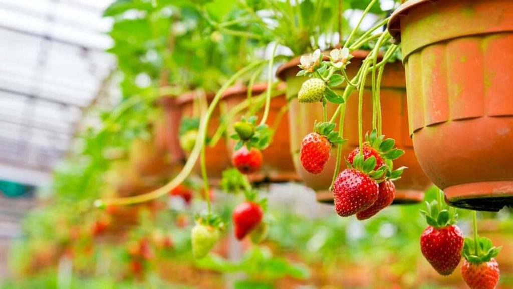 Varieties Of Strawberries  To Grow In Hanging Baskets