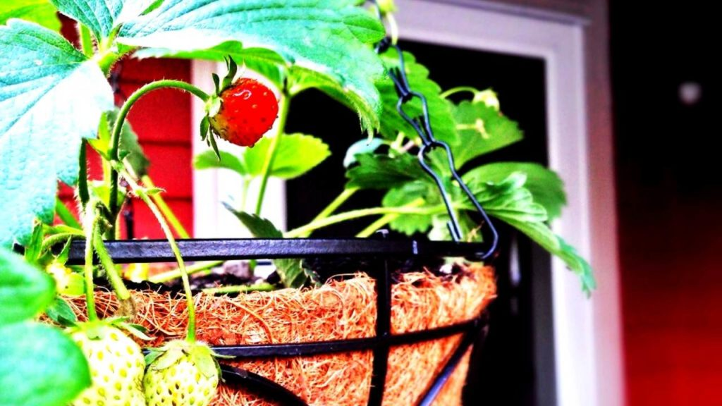 growing strawberries in hanging baskets: