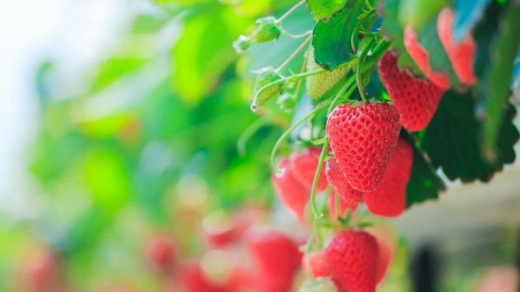 Plant Strawberry Plants In Hanging Baskets