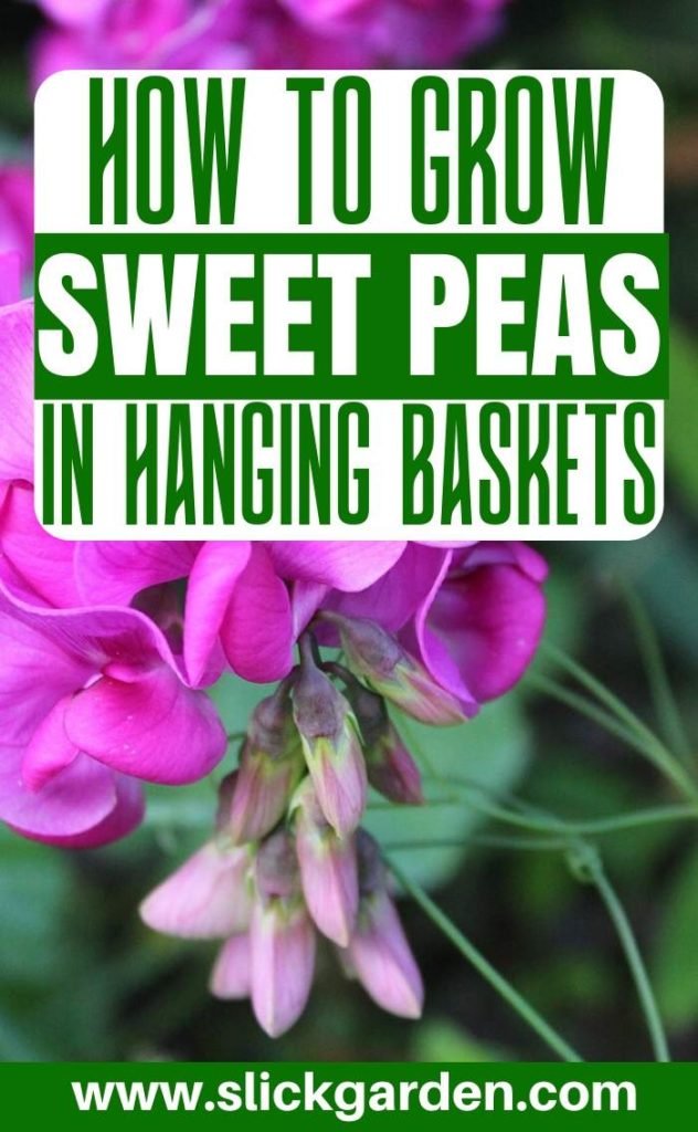 Growing Sweet Peas In Hanging Baskets