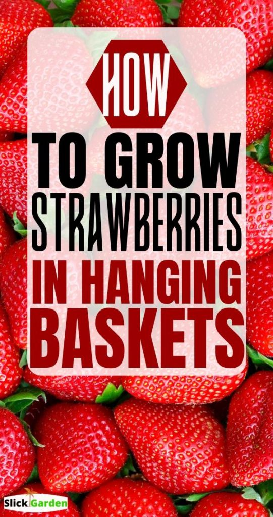 An Easy Way To Grow Strawberries In Hanging Baskets