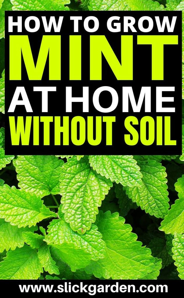 grow mint in water