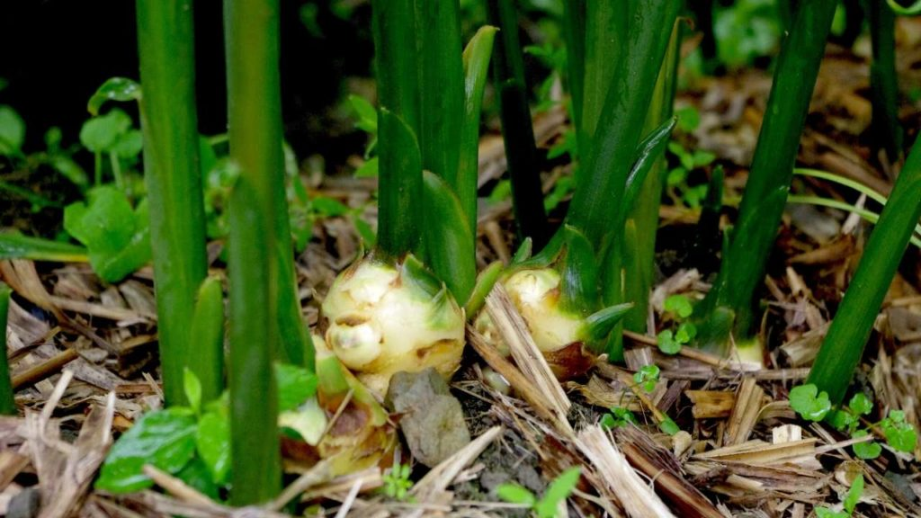 grow ginger in containers