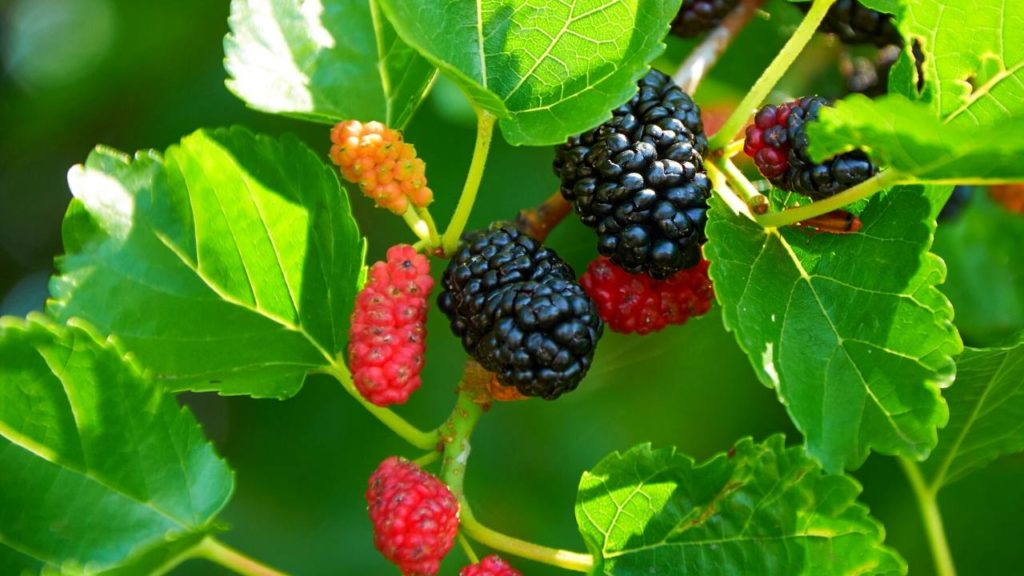 Grow Mulberry Tree From Mulberry