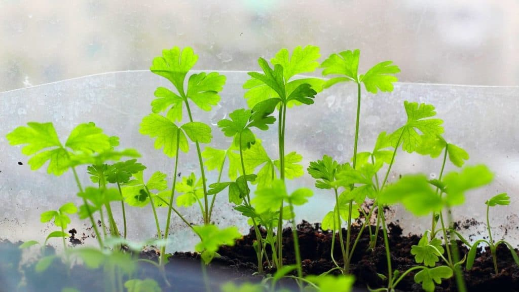 cuttings of parsley